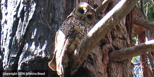 California_Spotted_Owl